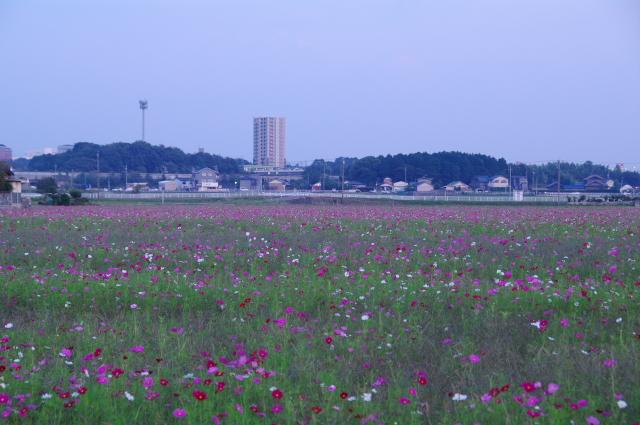 コスモス畑.jpg
