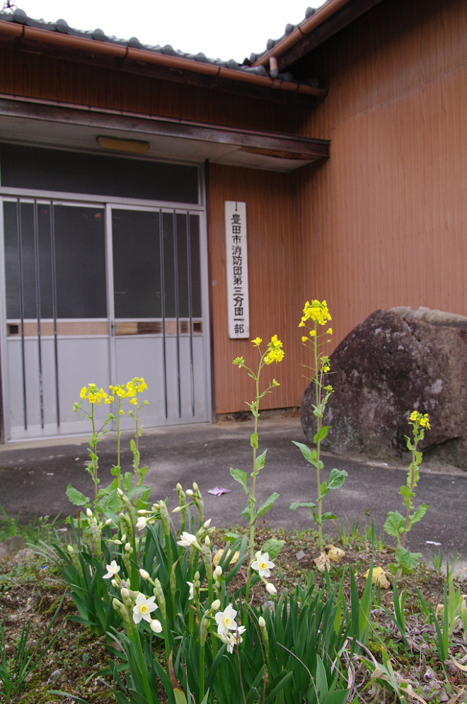 水仙と菜の花.jpg
