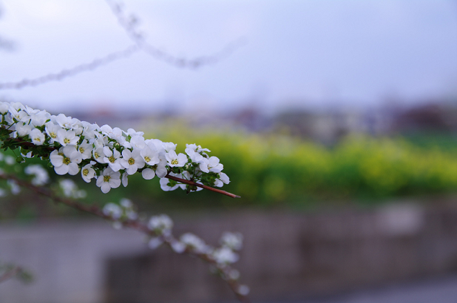 雪柳と菜の花.jpg
